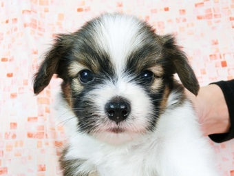 パピヨンの子犬(ID:1244711536)の1枚目の写真/更新日:2017-08-18
