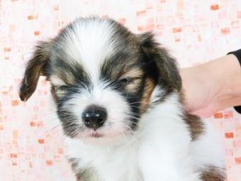 パピヨンの子犬(ID:1244711536)の2枚目の写真/更新日:2017-08-18