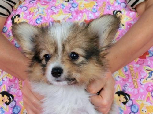 パピヨンの子犬(ID:1244711537)の1枚目の写真/更新日:2017-08-18