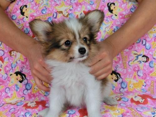 パピヨンの子犬(ID:1244711537)の2枚目の写真/更新日:2017-08-18