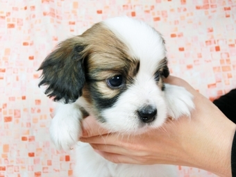 パピヨンの子犬(ID:1244711538)の1枚目の写真/更新日:2017-08-18