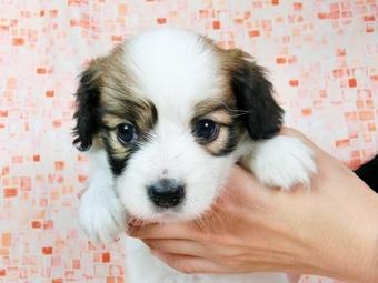パピヨンの子犬(ID:1244711538)の2枚目の写真/更新日:2017-08-18