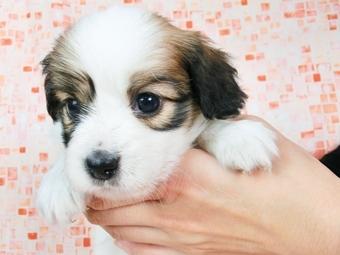 パピヨンの子犬(ID:1244711538)の3枚目の写真/更新日:2017-08-18