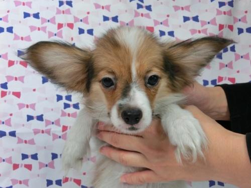 パピヨンの子犬(ID:1244711539)の1枚目の写真/更新日:2017-10-16