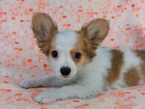 パピヨンの子犬(ID:1244711540)の1枚目の写真/更新日:2017-10-06