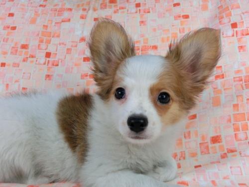 パピヨンの子犬(ID:1244711540)の2枚目の写真/更新日:2017-10-06