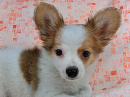 パピヨンの子犬(ID:1244711540)の3枚目の写真/更新日:2017-10-06