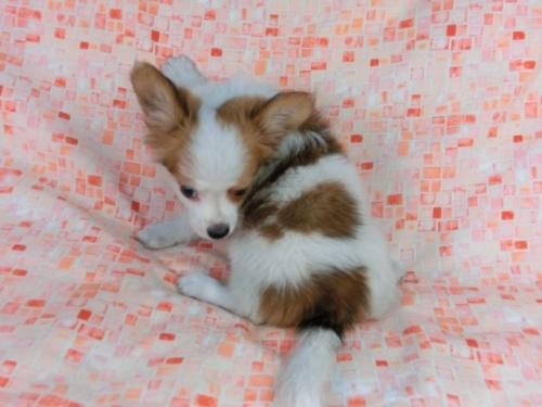 パピヨンの子犬(ID:1244711540)の4枚目の写真/更新日:2017-10-06
