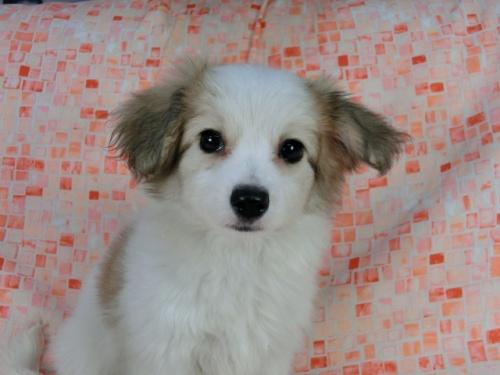 パピヨンの子犬(ID:1244711541)の1枚目の写真/更新日:2017-08-18
