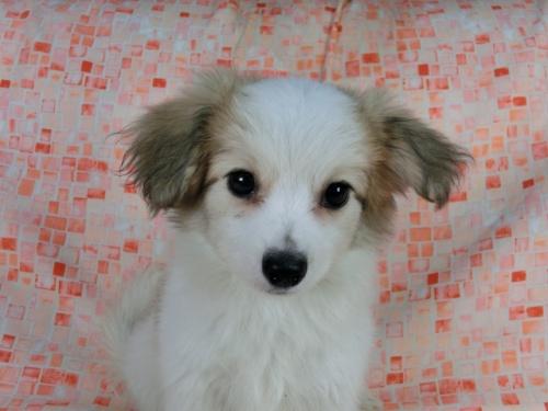 パピヨンの子犬(ID:1244711541)の2枚目の写真/更新日:2017-10-06