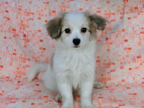 パピヨンの子犬(ID:1244711541)の3枚目の写真/更新日:2017-08-18