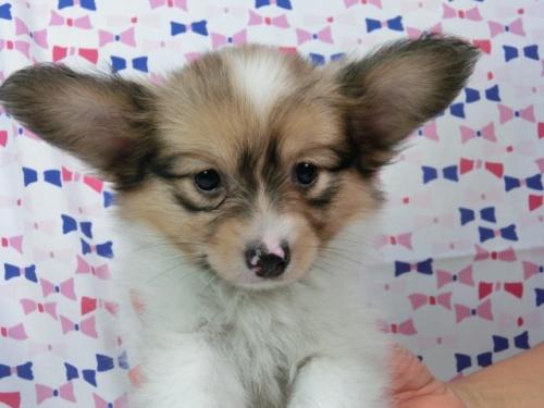 パピヨンの子犬(ID:1244711542)の1枚目の写真/更新日:2017-08-18