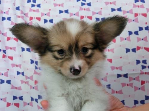 パピヨンの子犬(ID:1244711542)の3枚目の写真/更新日:2017-09-11