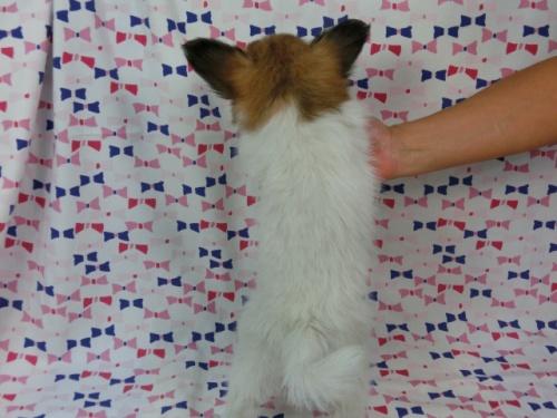 パピヨンの子犬(ID:1244711542)の4枚目の写真/更新日:2017-08-18