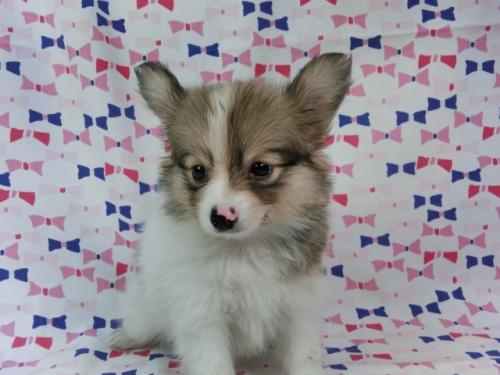 パピヨンの子犬(ID:1244711543)の2枚目の写真/更新日:2017-08-18
