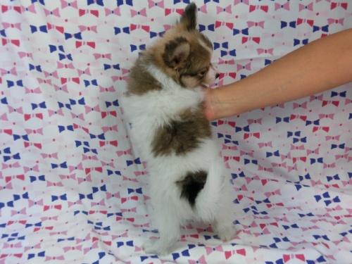 パピヨンの子犬(ID:1244711543)の4枚目の写真/更新日:2017-09-11