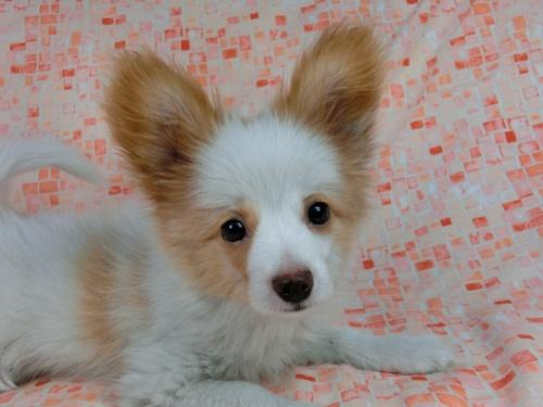 パピヨンの子犬(ID:1244711544)の1枚目の写真/更新日:2017-10-06