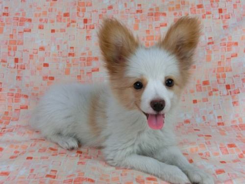 パピヨンの子犬(ID:1244711544)の2枚目の写真/更新日:2017-08-18