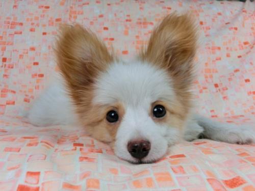 パピヨンの子犬(ID:1244711544)の3枚目の写真/更新日:2017-08-18