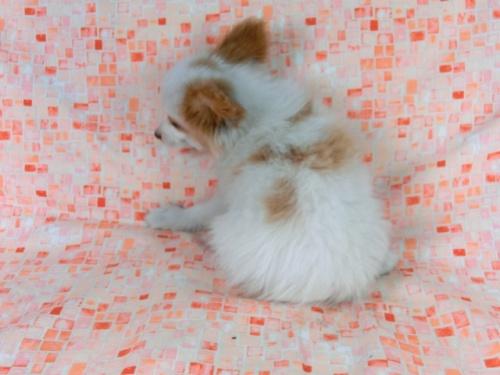 パピヨンの子犬(ID:1244711544)の4枚目の写真/更新日:2017-08-18