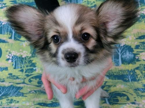 パピヨンの子犬(ID:1244711545)の1枚目の写真/更新日:2017-10-02
