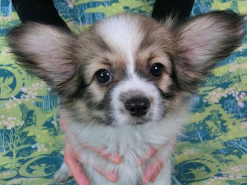 パピヨンの子犬(ID:1244711545)の2枚目の写真/更新日:2017-10-02