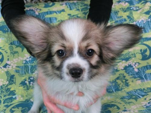 パピヨンの子犬(ID:1244711545)の3枚目の写真/更新日:2017-10-02