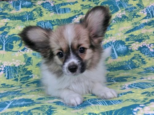 パピヨンの子犬(ID:1244711546)の1枚目の写真/更新日:2017-10-02
