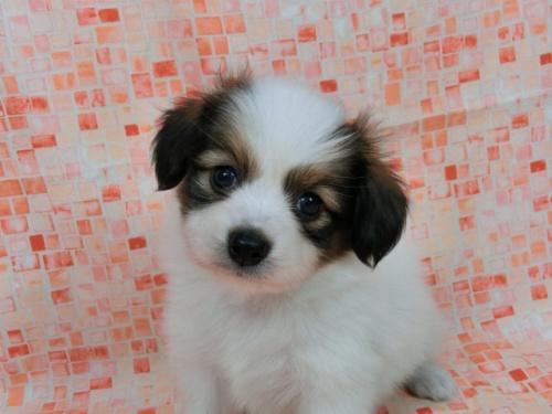 パピヨンの子犬(ID:1244711547)の2枚目の写真/更新日:2017-09-01