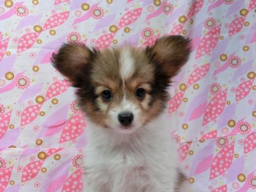 パピヨンの子犬(ID:1244711548)の1枚目の写真/更新日:2017-09-20