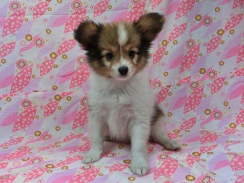 パピヨンの子犬(ID:1244711548)の2枚目の写真/更新日:2017-09-20