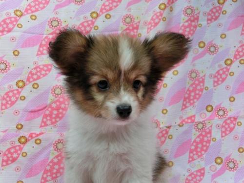 パピヨンの子犬(ID:1244711548)の3枚目の写真/更新日:2017-09-20