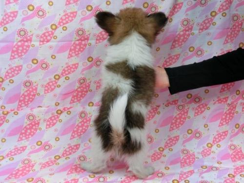 パピヨンの子犬(ID:1244711548)の4枚目の写真/更新日:2017-09-20