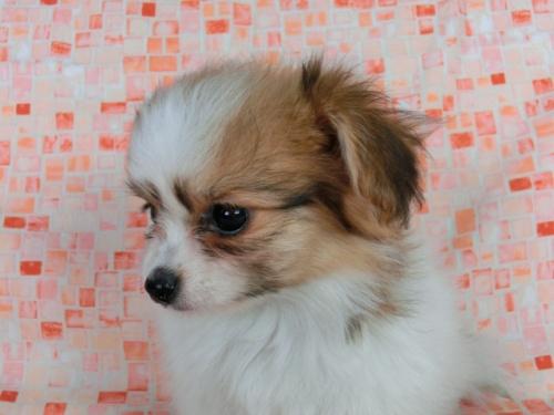 パピヨンの子犬(ID:1244711549)の1枚目の写真/更新日:2017-09-20