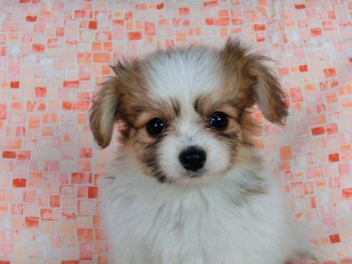 パピヨンの子犬(ID:1244711549)の2枚目の写真/更新日:2017-09-20