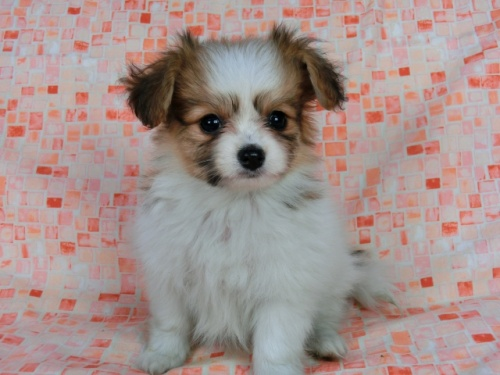 パピヨンの子犬(ID:1244711549)の3枚目の写真/更新日:2017-09-20