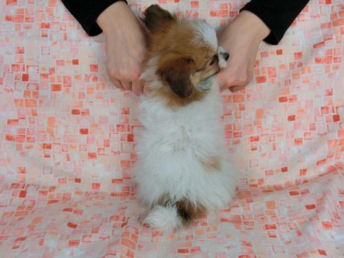 パピヨンの子犬(ID:1244711549)の4枚目の写真/更新日:2017-09-20