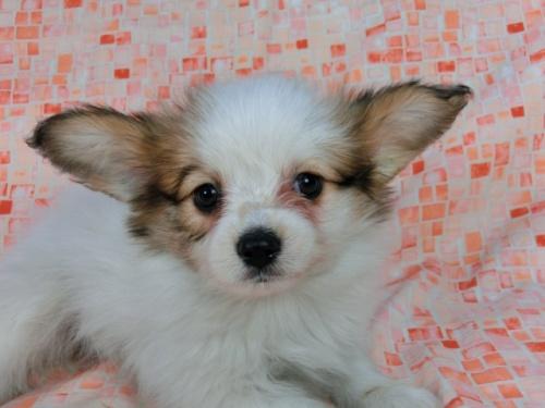 パピヨンの子犬(ID:1244711550)の1枚目の写真/更新日:2017-09-20