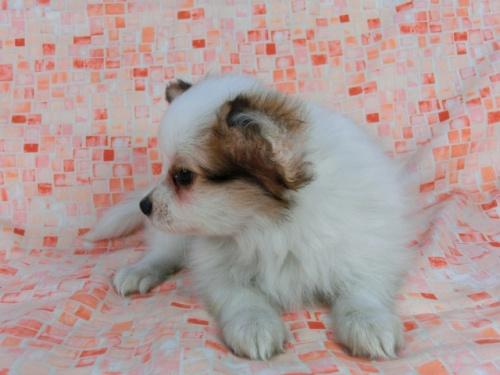 パピヨンの子犬(ID:1244711550)の2枚目の写真/更新日:2017-09-20