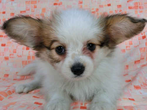 パピヨンの子犬(ID:1244711550)の3枚目の写真/更新日:2017-09-20