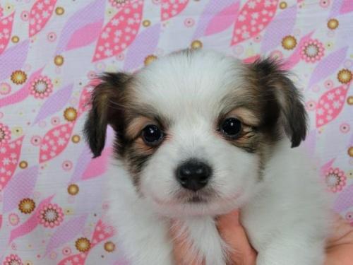 パピヨンの子犬(ID:1244711551)の1枚目の写真/更新日:2017-09-01