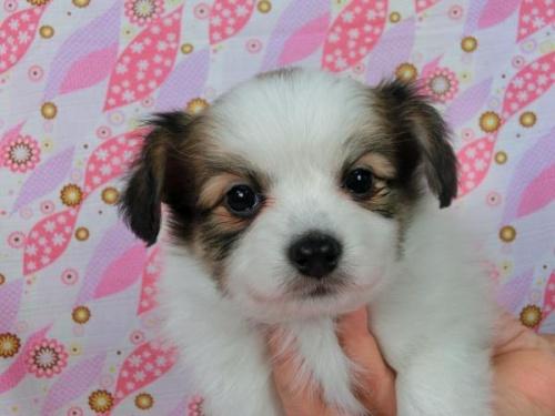 パピヨンの子犬(ID:1244711551)の3枚目の写真/更新日:2017-09-01
