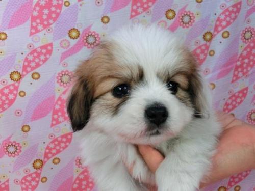 パピヨンの子犬(ID:1244711552)の1枚目の写真/更新日:2017-09-01