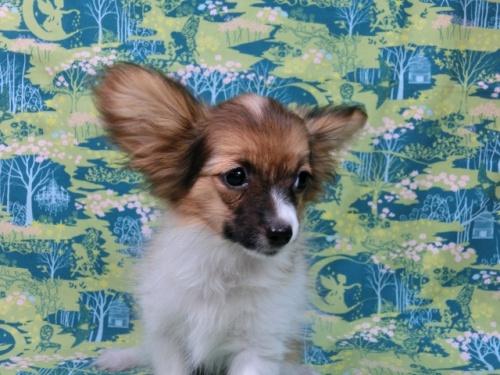 パピヨンの子犬(ID:1244711553)の1枚目の写真/更新日:2017-10-06