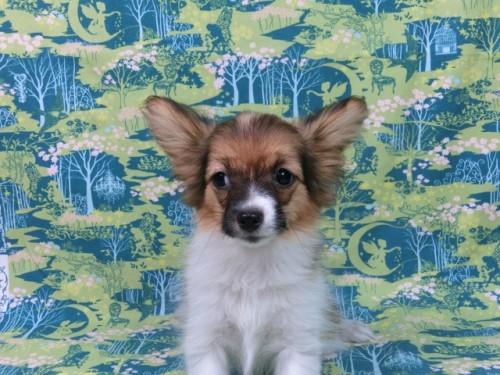 パピヨンの子犬(ID:1244711553)の2枚目の写真/更新日:2017-10-06