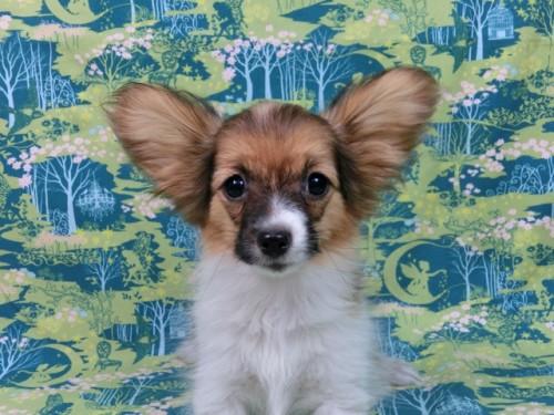 パピヨンの子犬(ID:1244711553)の3枚目の写真/更新日:2017-10-06