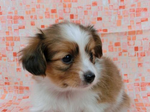 パピヨンの子犬(ID:1244711554)の1枚目の写真/更新日:2017-09-01