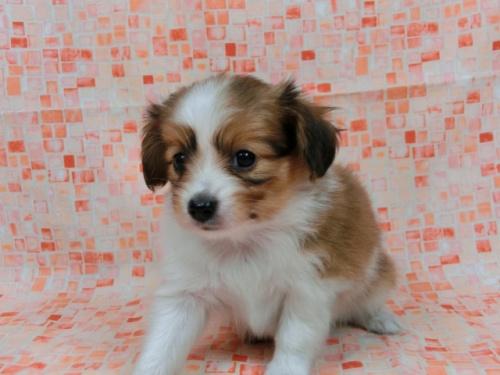パピヨンの子犬(ID:1244711554)の2枚目の写真/更新日:2017-09-01