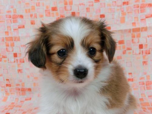 パピヨンの子犬(ID:1244711554)の3枚目の写真/更新日:2017-09-01