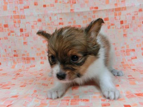 パピヨンの子犬(ID:1244711555)の1枚目の写真/更新日:2017-09-01